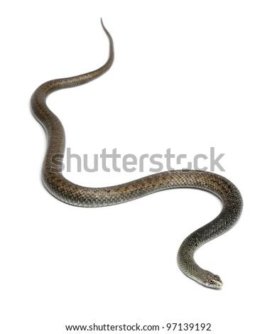 Montpellier snake - Malpolon monspessulanus, poisonous - stock photo