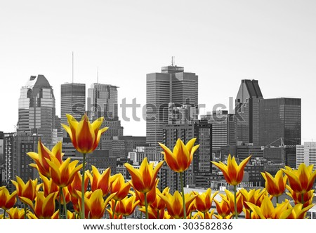 Montreal black and white cityscape with yellow tulips in front - stock photo