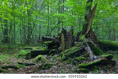 Monumental broken oak lying under canopy of deciduous stand of Bialowieza Forest - stock photo