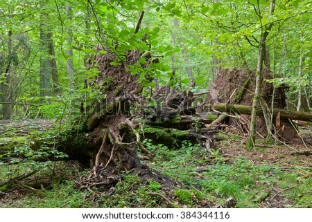 Monumental broken trees lying under canopy of deciduous stand of Bialowieza Forest,Bialowieza Forest,Poland,Europe - stock photo