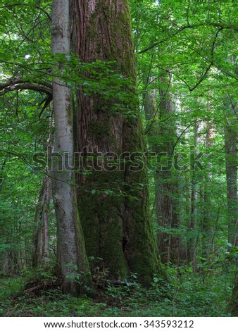 Monumental linden tree of Bialowieza Forest deciduous stand in morning,Bialowieza Forest,Poland,Europe