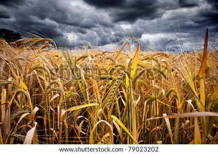 moody low wide angled shot of a wheat field with dramatic stormy sky in the background - stock photo