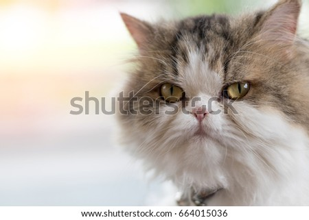 Moody Persian cat portrait with copyspace.