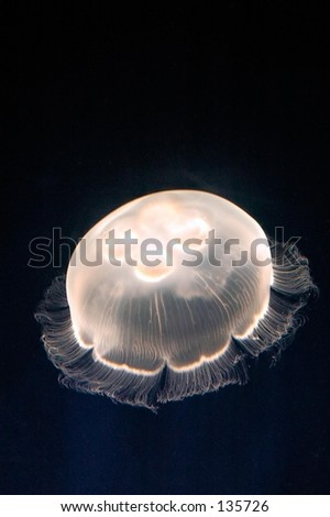 Moon Jelly (Aurelia labiata) - stock photo