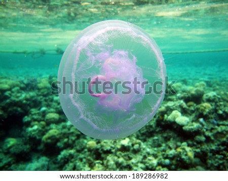Moon jellyfish (Aurelia aurita) drifting in the surface current - stock photo