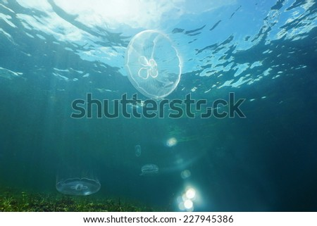 Moon jellyfish, Aurelia aurita, with sunlight through the water surface, Caribbean sea - stock photo
