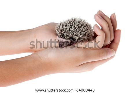 Moon rat or african pygmy hedgehog in hand. - stock photo