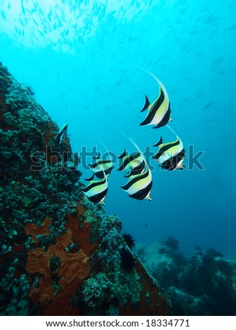 Moorish Idols in the Indian Ocean