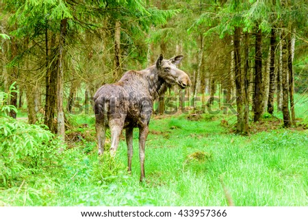 Moose (Alces alces). Adult cow standing in the spruce forest, ears forwards listening for something. - stock photo