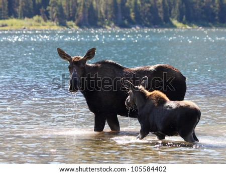 Moose and Calf at Swiftcurrent lake in Glacier National Park, Montana - stock photo