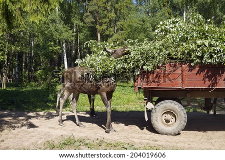 Moose breakfast at Kostroma (Sumarokovo) farm  - stock photo