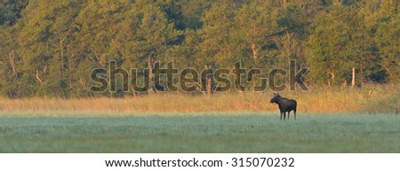 moose bull in the meadow at sunrise - stock photo