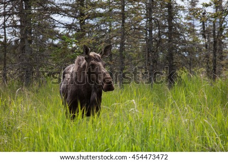 Moose close encounter in Alaska
