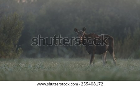Moose cow in the morning - stock photo