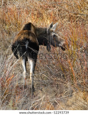 Moose eating bushes in Kananaskis Country Alberta Canada