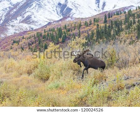 Moose Emerging - a bull moose emerges from the bushes along Sable creek valley. Denali National Park, Alaska - stock photo