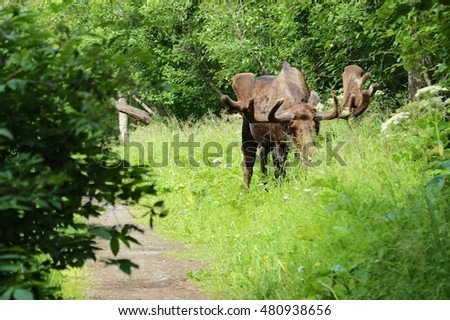 Moose in Kincaid Park, Anchorage, Alaska