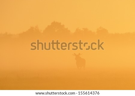 Moose in sunrise