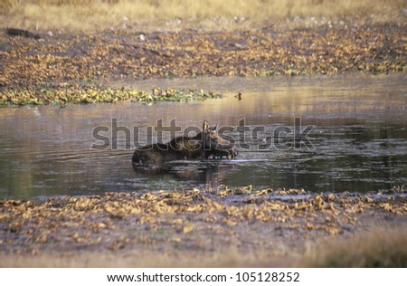 Moose Lying in Stream, Grand Teton National Park, Wyoming - stock photo