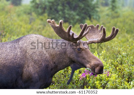 Moose Munch - A bull moose with velvet still on its new antlers munches on fireweed in Denali National Park, Alaska. - stock photo