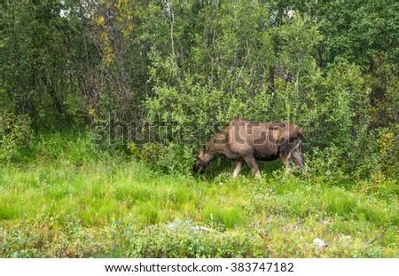 Moose, Sweden  - stock photo