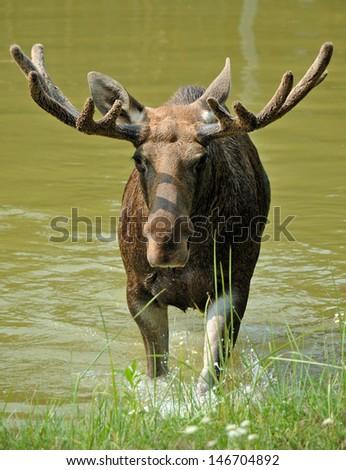 Moose swimming in lake - stock photo