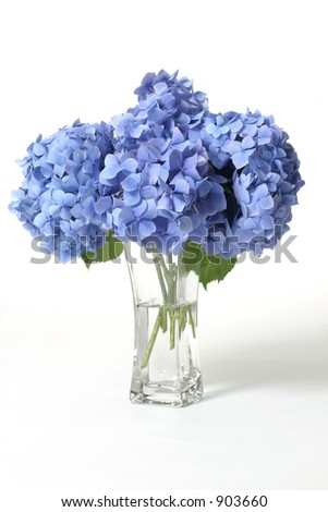 Mophead hydrangeas in a glass vase.    Hydrangeas produce larger mopheads made up of clusters of small flowers from Summer through Autumn. - stock photo