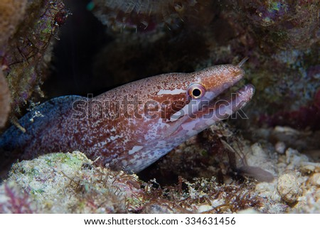 Moray Eel (Gymnothorax javanicus) look out from a hard coral pinnacle. Close-up. Underwater photo.