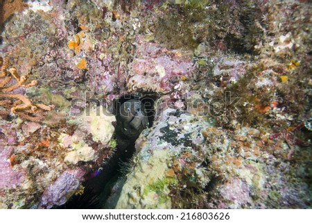Moray Eel (Muraenidae) off Catalina island, CA - stock photo