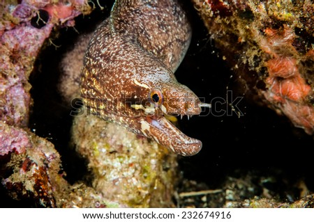 Moray eel swimming in Banda, Indonesia underwater photo. Gymnothorax species has generally pattern in the body. moral eel is among reefs, coming put from the hole. - stock photo