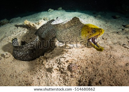 Moray on coral reef at night