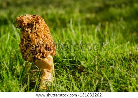 Morel Mushroom - stock photo