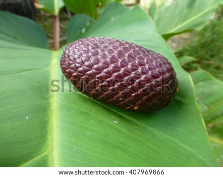 Moriche Palm fruit (Mauritia flexuosa) rainforest  Amazonia - Brazil