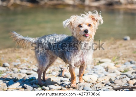 Morkie dog playing at a river beach sticking out tongue - stock photo
