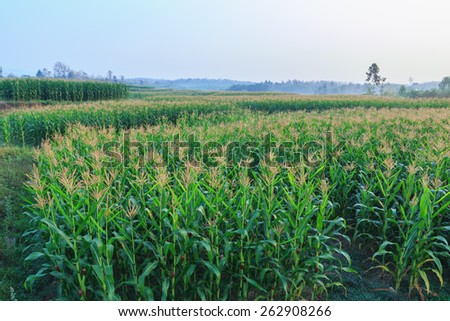 Morning  area with field  agriculture asia  corn - stock photo