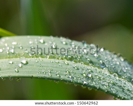 morning dew on green leaf of carex grass macro shot
