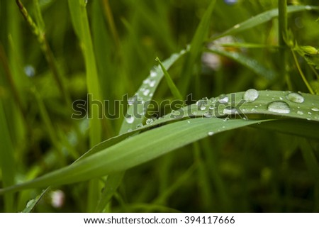 Morning dews on green leaf