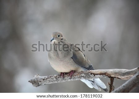 morning dove sitting on a branch in a snowstorm - stock photo