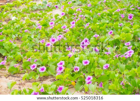 Morning Glory's pink flowers (Ipomoea)