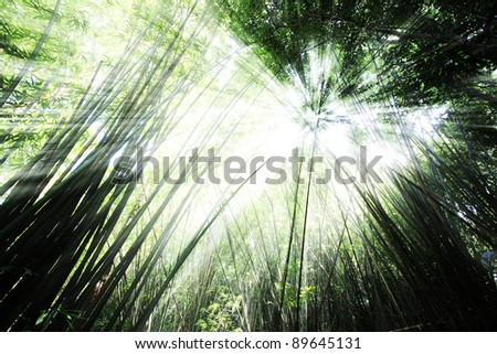 Morning in bamboo forest with beam of the sun. - stock photo