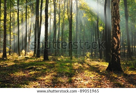 Morning in old beech forest. Central Poland. - stock photo