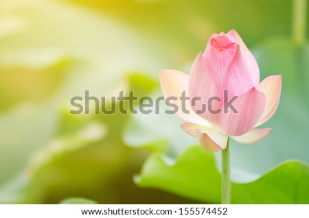 Morning lotus flower in the farm under warm sunlight. - stock photo