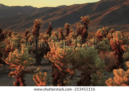 Morning of Joshua Tree National Park - stock photo