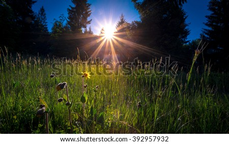Morning sun burst through the trees in the spruce forest. Fresh grass, with meadow flowers on foreground, illuminated by sunlight . Carpathian mountains. Ukraine. - stock photo