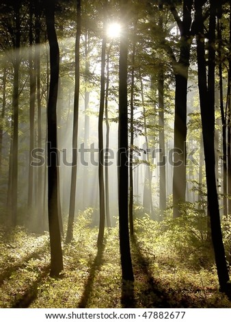 Morning sunbeams falls into a misty autumn forest with majestic oak trees. - stock photo