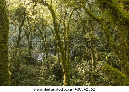 Morning sunlight streaming through mossy cloudforest. In the Rio Pita Valley, a steep gorge situated near Cotopaxi Volcano in the Ecuadorian Andes.