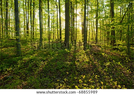 Morning sunlight through the trees in the Sacred Grove. A sunrise in early May - stock photo