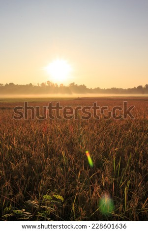 Morning Sunrise rice  landscape focus on sun