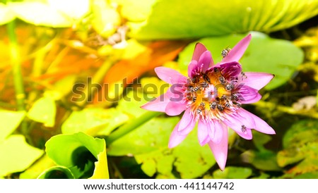 morning tone honey bee flying and bees collecting pollen in deep of blooming purple water lily The view captured at lotus pond in Thailand. Lotus flower in Asia is important Buddhism culture symbolic - stock photo