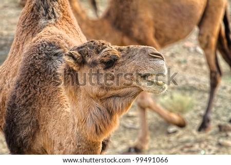 Morocco Camel Sahara Desert - stock photo